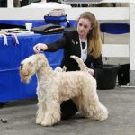 Beckett National Dog Show - Silkcroft Soft Coated Wheaten Terriers 2017