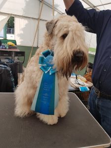 Enya - Silkcroft Soft-Coated Wheaten Terriers 2017