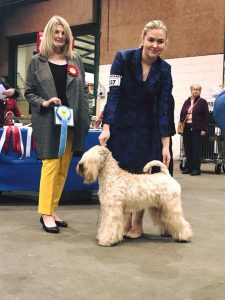 Ani - National Terrier Silkcroft Soft Coated Wheaten Terriers 2018