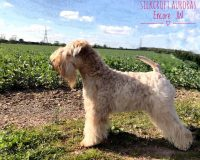 Aura - Silkcroft Soft Coated Wheaten Terriers 2017