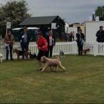 Bath 2018 - Silkcroft Soft Coated Wheaten Terriers 2018