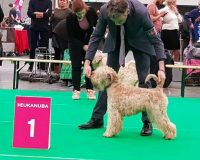 Bryony Maastricht 2017 Silkcroft Soft Coated Wheaten Terriers 2017