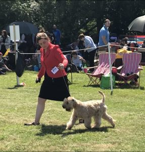 Flare at Derbyshire County Show - Silkcroft Soft Coated Wheaten Terriers 2018