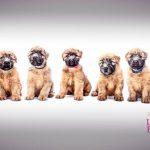 Perri's Puppies - Silkcroft Soft Coated Wheaten Terriers 2018 - Week 8