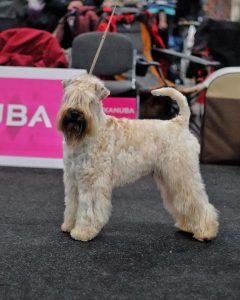 Obi WDS 2017 Silkcroft Soft Coated Wheaten Terriers 2017