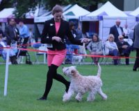 Three Counties 2018 - Silkcroft Soft Coated Wheaten Terriers 2018