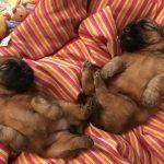 Perri's Puppies - Silkcroft Soft Coated Wheaten Terriers 2018 - Week 3