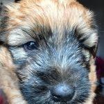 Perri's Puppies - Silkcroft Soft Coated Wheaten Terriers 2018 - Week 4