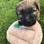 Perri's Puppies - Silkcroft Soft Coated Wheaten Terriers 2018 - Week 5