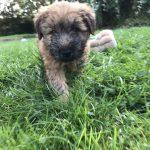 Perri's Puppies - Silkcroft Soft Coated Wheaten Terriers 2018 - Week 7