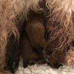 Shutters Puppies 2017 - Silkcroft Soft Coated Wheaten Terriers 2018 - Week 1