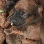 Shutters Puppies 2017 - Silkcroft Soft Coated Wheaten Terriers 2018 - Week 2