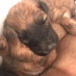 Shutters Puppies 2017 - Silkcroft Soft Coated Wheaten Terriers 2018 - Week 3