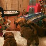 Shutters Puppies 2017 - Silkcroft Soft Coated Wheaten Terriers 2018 - Week 6