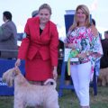 East Of England 2018 - Silkcroft Soft Coated Wheaten Terriers 2018 - Ani