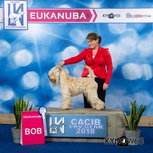 Genk 2018 - Silkcroft Soft Coated Wheaten Terriers 2018 - Beckett