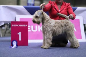 Genk 2018 - Silkcroft Soft Coated Wheaten Terriers 2018 - Flare