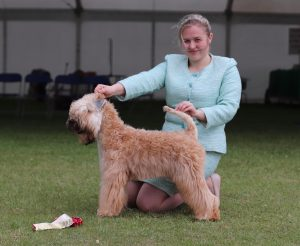 Ally Soft Coated Wheaten Terrier