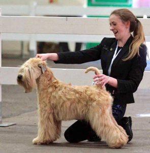 Anwyn Ani soft coated wheaten terrier